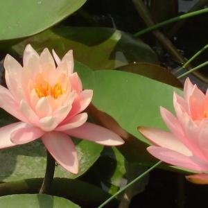 Unfold like Lotus