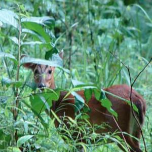Barking Deer regular morning visitor around shrine
