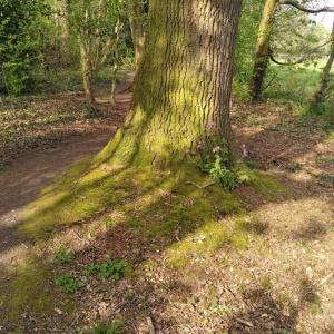 (oak, campion, moss)