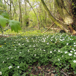 (wood anemone, celandine, sycamore, small-leaved lime)