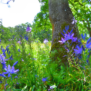 Camas and Garry oak