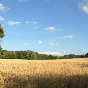 Wheatfield opposite Adhisthana