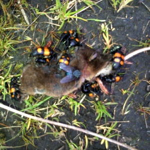 Brightly coloured beetles eating a dead shrew